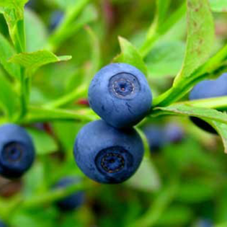 Bilberry Herbal Tea - Natural Remedies for your Health