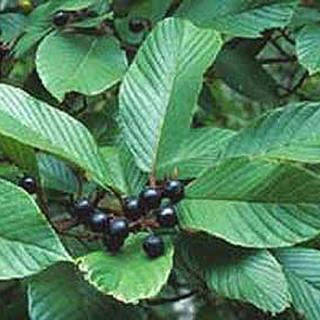 Cascara Sagrada Herbal Tea - Natural Remedies for your Health