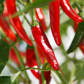 Cayenne Pepper, Chili Herbal Tea - Natural Remedies for your Health