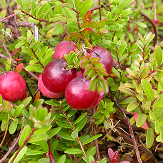 Cranberry Herbal Tea - Natural Remedies for your Health