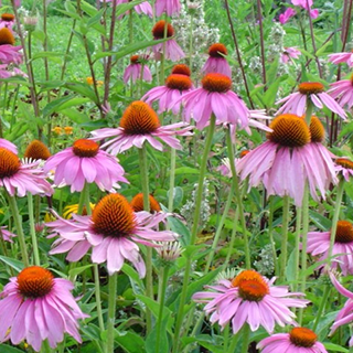 Echinacea Herbal Tea - Natural Remedies for your Health