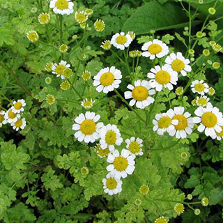 Feverfew Herbal Tea - Natural Remedies for your Health