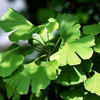 Ginkgo Herbal Tea - Natural Remedies for your Health