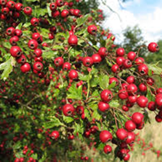 Hawthorn Herbal Tea - Natural Remedies for your Health