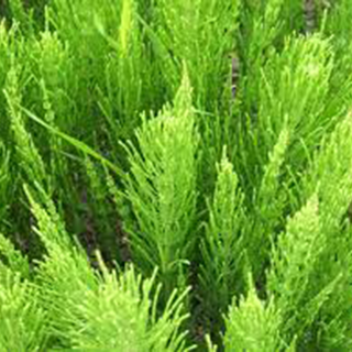 Horsetail Herbal Tea - Natural Remedies for your Health