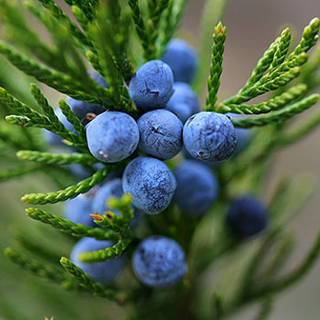 Juniper Herbal Tea - Natural Remedies for your Health