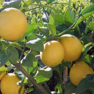 Lemon Herbal Tea - Natural Remedies for your Health