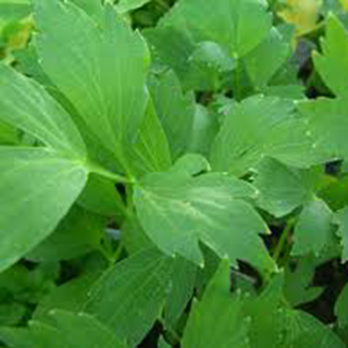 Lovage Herbal Tea - Natural Remedies for your Health