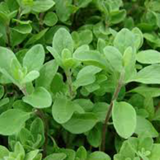 Marjoram Herbal Tea - Natural Remedies for your Health