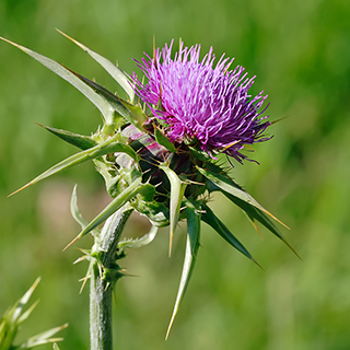 Milk Thistle Herbal Tea - Natural Remedies for your Health