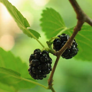 Mulberry Herbal Tea - Natural Remedies for your Health