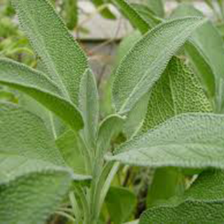 Sage Herbal Tea - Natural Remedies for your Health