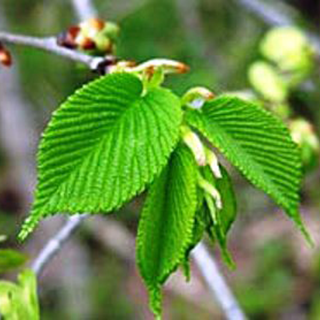 Slippery Elm Herbal Tea - Natural Remedies for your Health