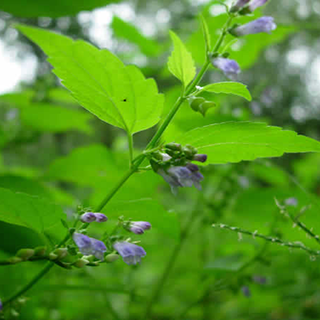 Virginian skullcap Herbal Tea - Natural Remedies for your Health
