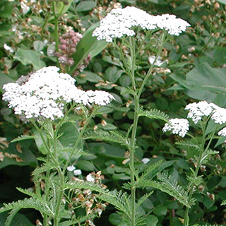 Yarrow Herbal Tea - Natural Remedies for your Health