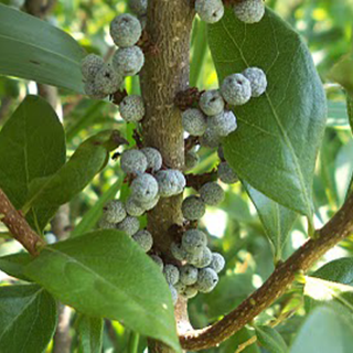 Bayberry Herbal Tea - Natural Remedies for your Health
