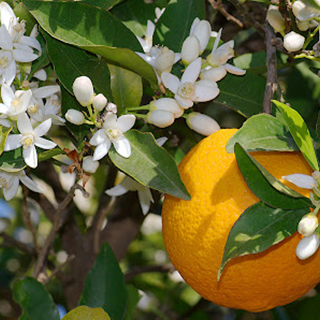 Bitter Orange Herbal Tea - Natural Remedies for your Health