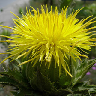 Blessed Thistle Herbal Tea - Natural Remedies for your Health