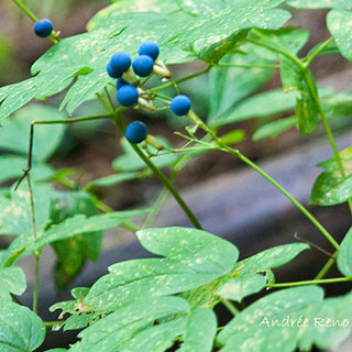 Blue Cohosh Herbal Tea - Natural Remedies for your Health