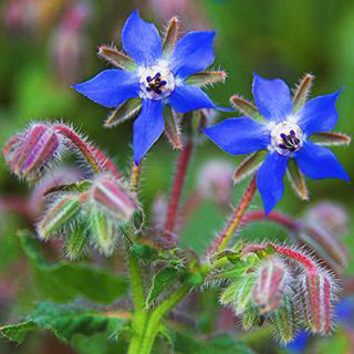 Borage Herbal Tea - Natural Remedies for your Health