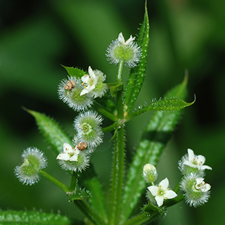 Cleavers Herbal Tea - Natural Remedies for your Health