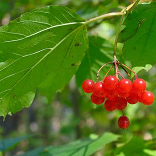 Cramp Bark Herbal Tea - Natural Remedies for your Health