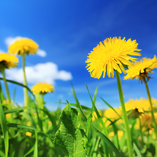 Dandelion Herbal Tea - Natural Remedies for your Health