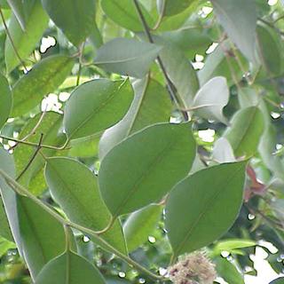 Eucalyptus Herbal Tea - Natural Remedies for your Health