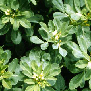 Fenugreek Herbal Tea - Natural Remedies for your Health