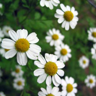 German chamomile Herbal Tea - Natural Remedies for your Health