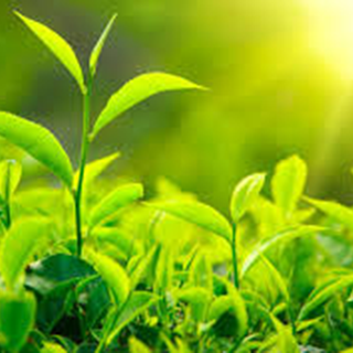 Green Herbal Tea - Natural Remedies for your Health