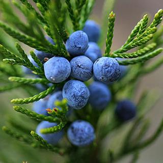 Juniper Herbal Tea - Natural Remedies for your Health