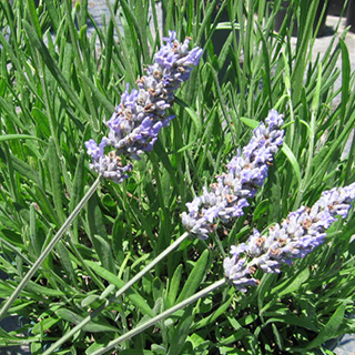 Lavender Herbal Tea - Natural Remedies for your Health