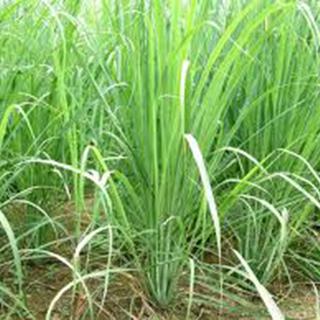 Lemon Grass Herbal Tea - Natural Remedies for your Health