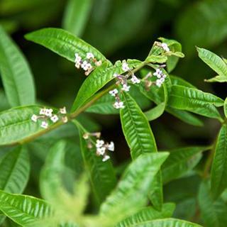 Lemon Verbena Herbal Tea - Natural Remedies for your Health