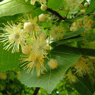 Linden Blossoms Herbal Tea - Natural Remedies for your Health