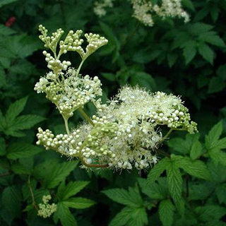 Meadowsweet Herbal Tea - Natural Remedies for your Health
