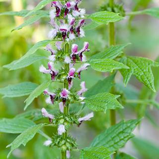 Motherwort Herbal Tea - Natural Remedies for your Health