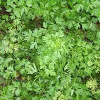 Parsley Herbal Tea - Natural Remedies for your Health