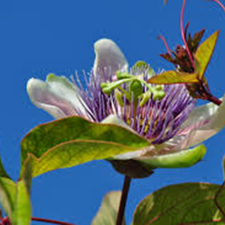 Passion Flower Herbal Tea - Natural Remedies for your Health