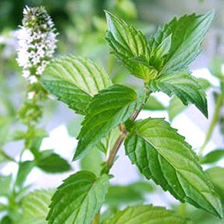 Peppermint Herbal Tea - Natural Remedies for your Health