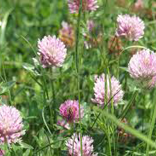 Red Clover Herbal Tea - Natural Remedies for your Health