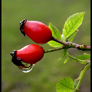 Rose Hips Herbal Tea - Natural Remedies for your Health