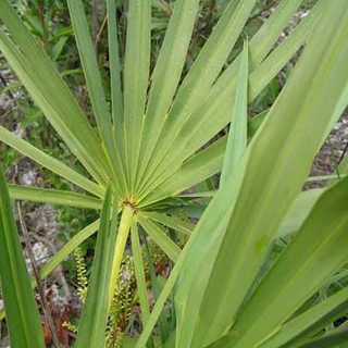 Saw Palmetto Herbal Tea - Natural Remedies for your Health