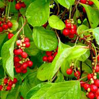 Schizandra Herbal Tea - Natural Remedies for your Health
