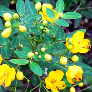 Senna Herbal Tea - Natural Remedies for your Health