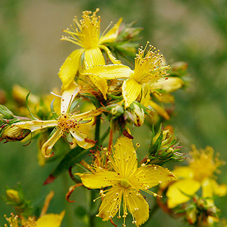 St. John's Wort Herbal Tea - Natural Remedies for your Health
