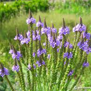 Vervain Herbal Tea - Natural Remedies for your Health