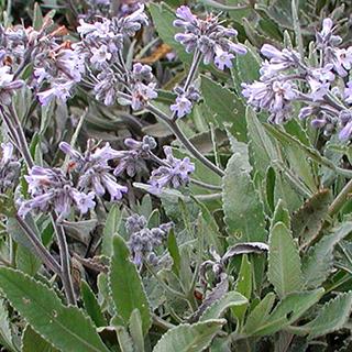Yerba Santa Herbal Tea - Natural Remedies for your Health